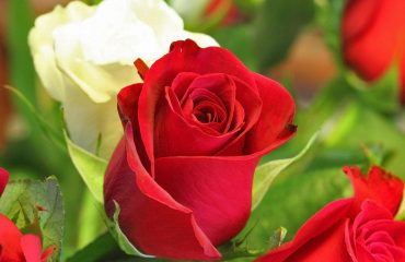 red roses with white rose